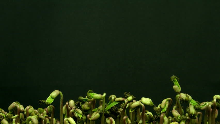 Time-lapse of growing mung beans 2