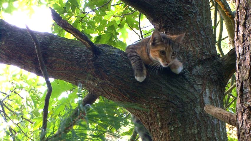 Kitten in tree builds courage to climbs down to lower branch, non gracefully - HD stock video clip