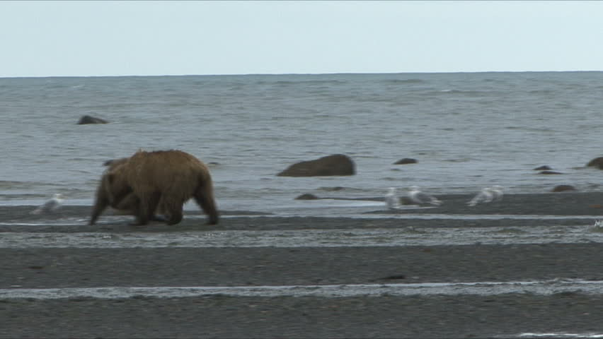 A Brown Bear defends his salmon meal on the Cook Inlet at Lake Clark, Alaska.   - HD stock video clip
