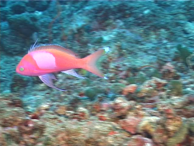 Male adult Squarespot anthias (Pseudanthias pleurotaenia) swimming underwater in Fiji Islands - SD stock video clip