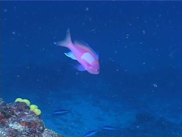 Male adult Squarespot anthias (Pseudanthias pleurotaenia) swimming underwater in Fiji Islands - SD stock footage clip