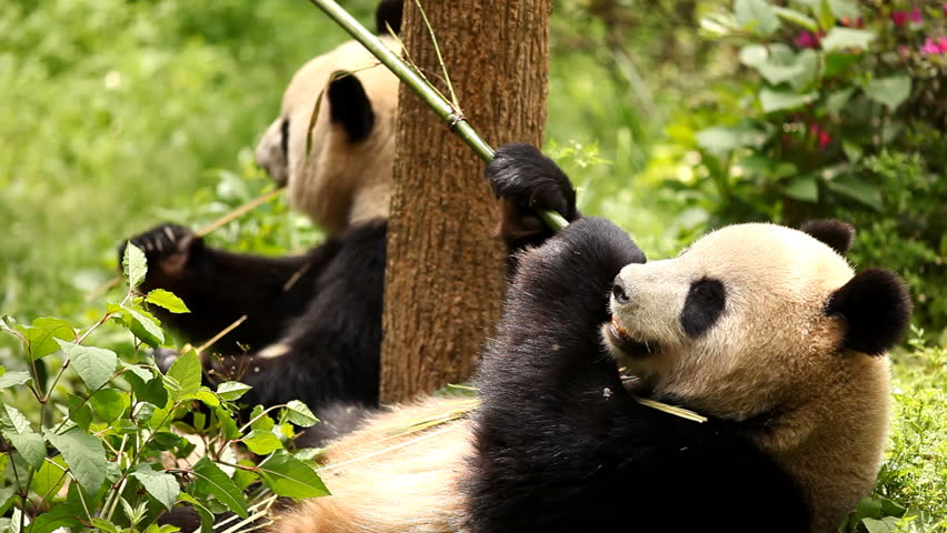 Giant panda bear eating bamboo - HD stock footage clip