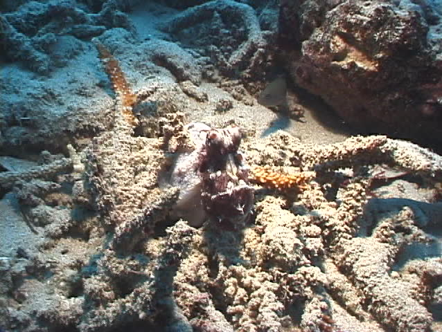 Blue Ringed Octopus Hunting