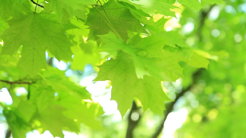 Green leaves. Beautiful summer green maple tree swinging in the wind. - HD stock video clip