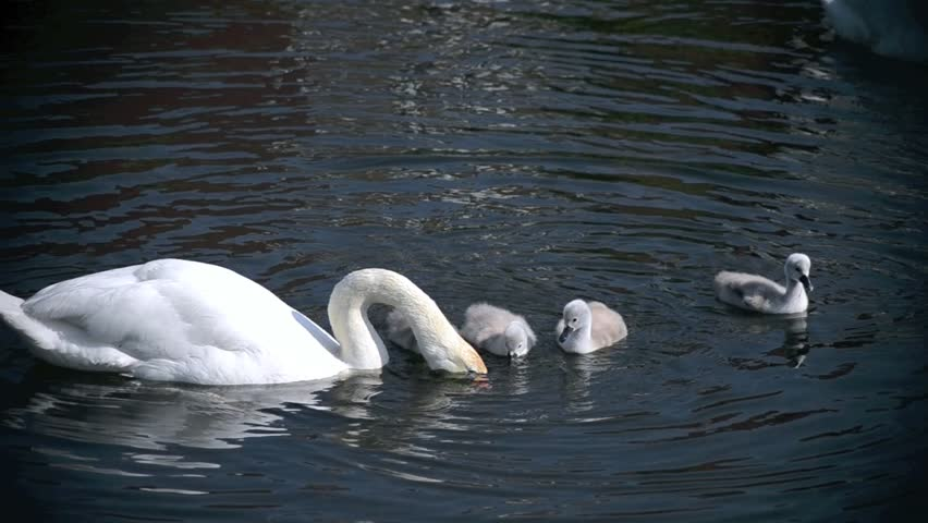 Swan feeds young - HD stock footage clip