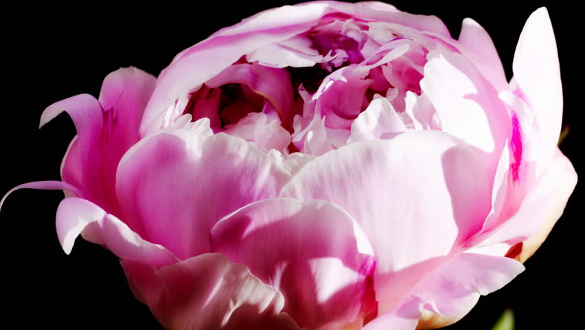 timelapse of peony flowering  - HD stock video clip