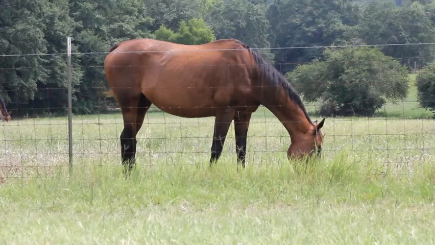 Side View Of Brown Horse Grazing At Fence In Pasture Stock ...