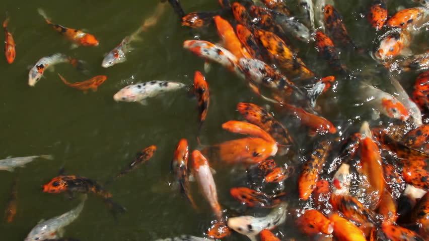 Even more koi fish feeding stock footage video 2456120 for Koi fish to pond ratio