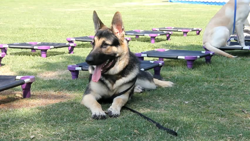 Large Male German Shepherd Dog Relaxing In Shade During Training Session - HD stock video clip