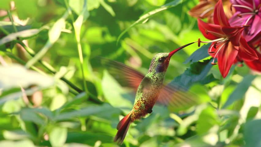 Humming bird, beautiful 3d animation - HD stock footage clip
