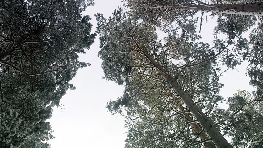 Crowns of pine trees against the sky - HD stock video clip