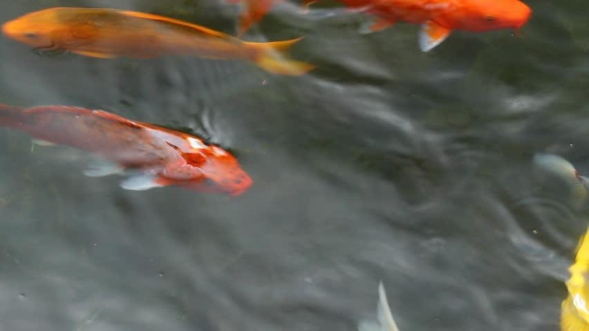 Koi carp stock footage video 2525036 shutterstock for Koi fish to pond ratio