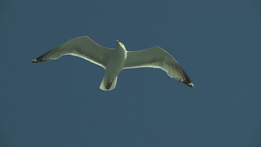 Seagull flying directly above camera almost stationary against blue sky - HD stock video clip