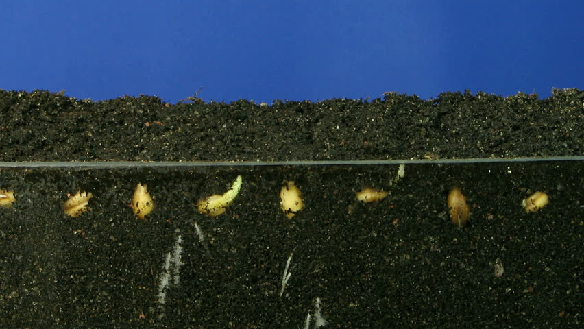 Time-lapse of growing wheat seeds 3