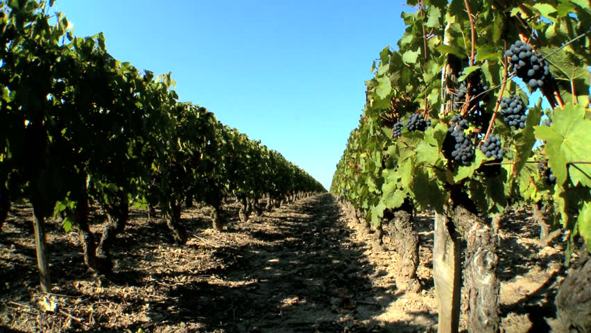 Rows of grapevines ready for harvest
