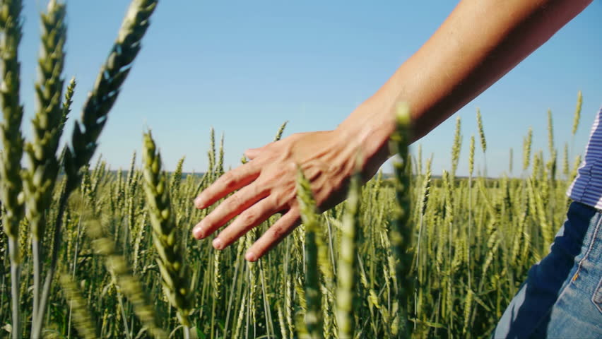 Male hand touching wheat in summer  field  - HD stock video clip