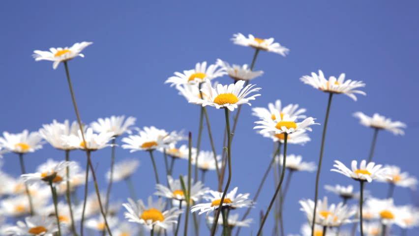daisy field mountain sky - photo #23