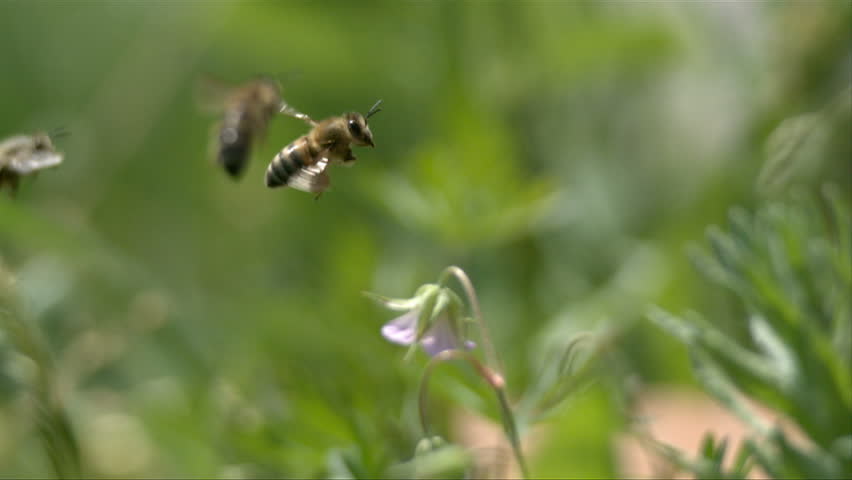 Bees fly to green plants. slow motion.  - HD stock footage clip