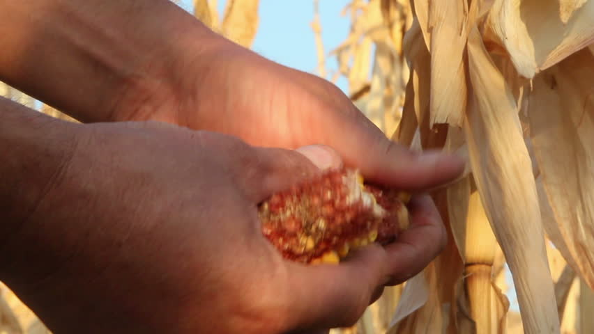 Corn field affected by drought ...