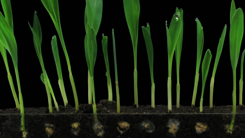 Time-lapse of growing maize vegetables 5b2