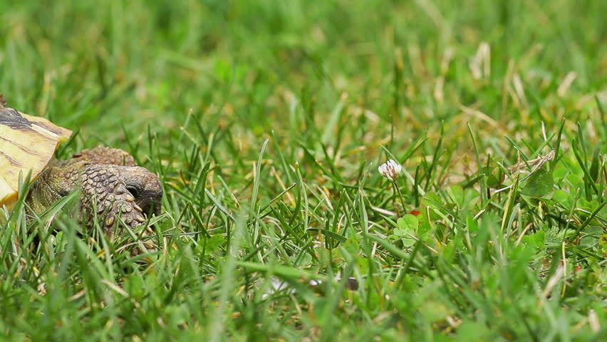 Old, yellow colored turtle slowly moving through the scene on green grass (shot during hot sunny day, Isolated focus)