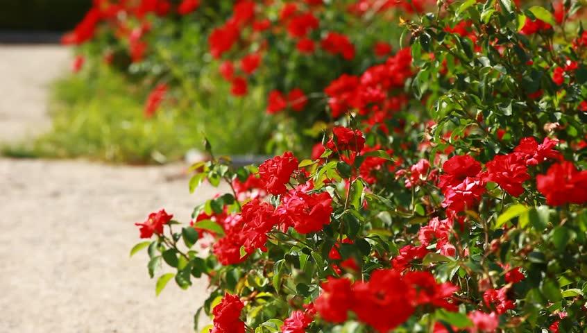 Images of 26 Beautiful Rose Garden - #SC
