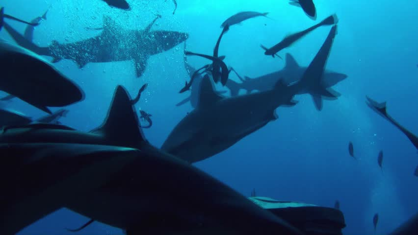 Dozens and dozens of Grey sharks and white tips tear apart 6 giant frozen tuna heads in a matter of seconds. Coral sea Australia.