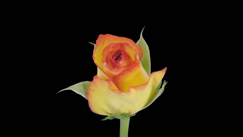 """Time-lapse of opening yellow """"Birdy"""" rose 2c in PNG+ format with alpha transparency channel isolated on black background."""