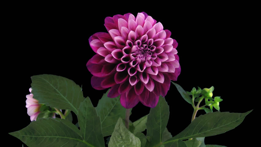 Time-lapse of blooming red dahlia 11b in PNG+ format with alpha transparency channel isolated on black background