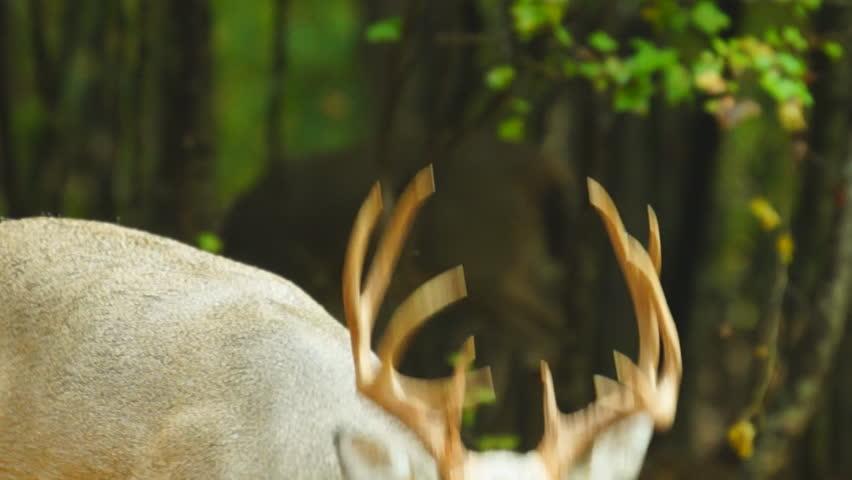 Whitetail Deer mature buck, October in Georgia - HD stock video clip