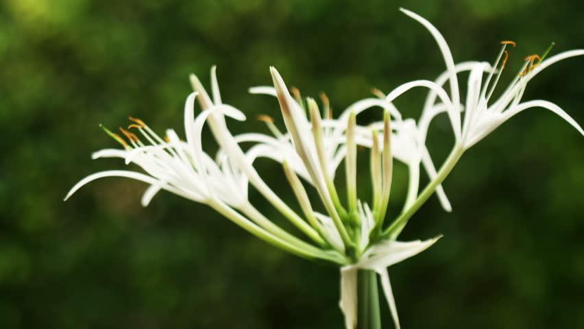 Header of Amaryllidaceae