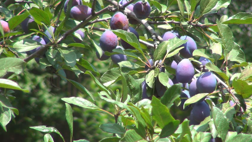 plum orchard plum tree branches of plums ecological
