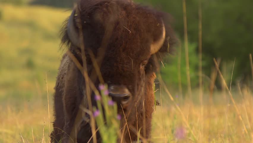 Buffalo Grazing - Slow Motion - A buffalo shakes his head and continues to graze. Slow motion.  - HD stock footage clip