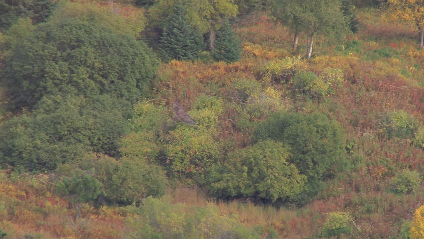 Goshawk swooping over a forest in autumnal regalia. - HD stock footage clip