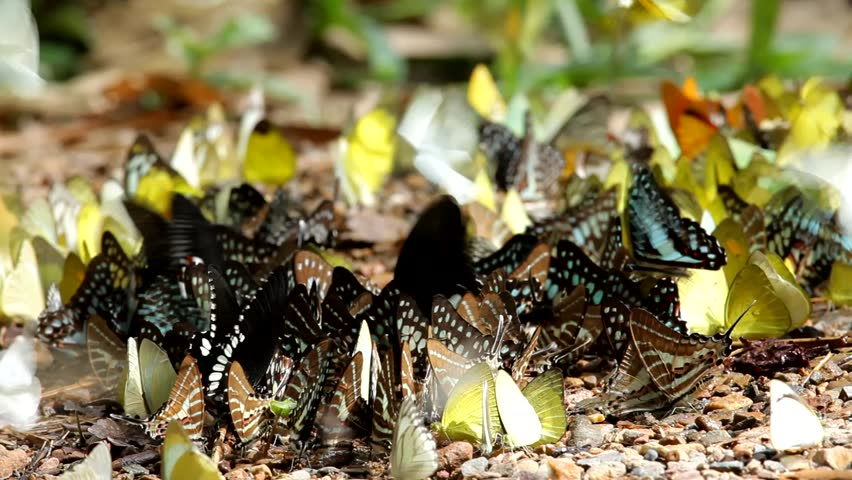 Beautiful butterfly at national park, thailand - HD stock video clip