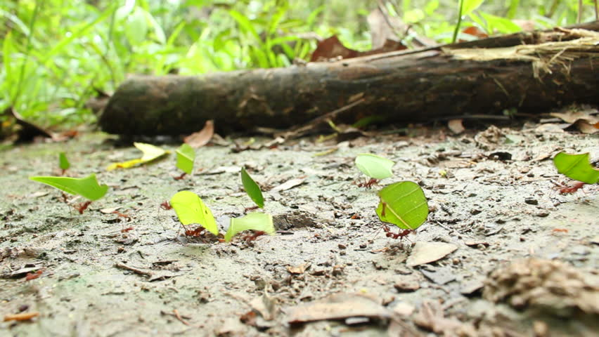 Leaf Cutter Ants (Atta sp.)  carrying leaves to their nest in the rainforest, Ecuador