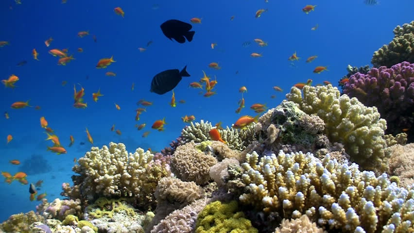 Colorful Fish on Vibrant Coral Reef, Red sea - HD stock footage clip