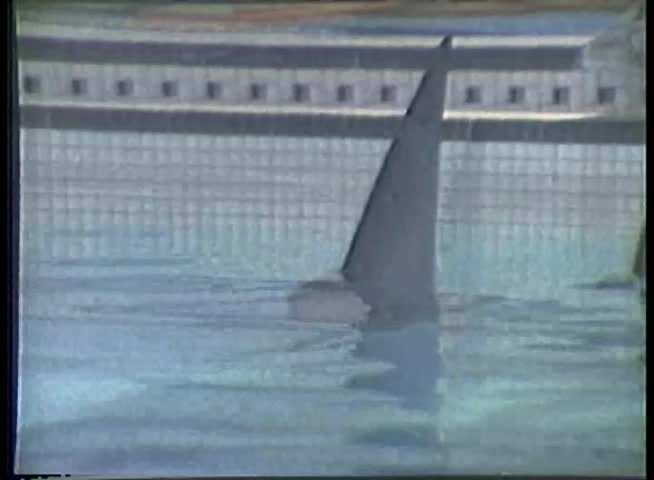 Close Up Of Shark Fin In Swimming Pool Stock Footage Video 3263617 Shutterstock