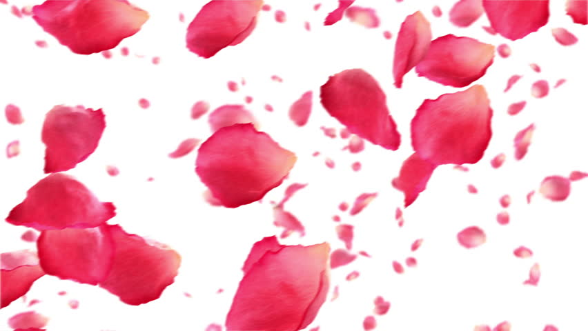 Flying rose petals on white. HD 1080. Looped animation. - HD stock video clip