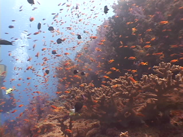 Spectacular wall of coral - Fiji, South Pacific.