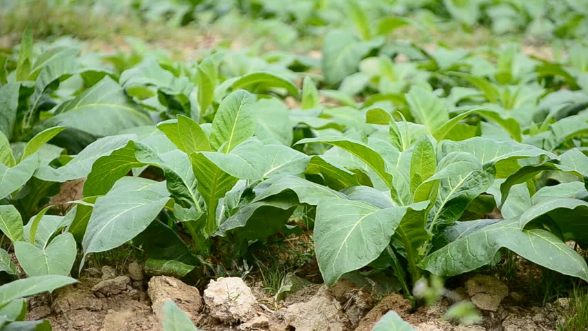 tobacco farm and farmer take apply fertilizer for plants