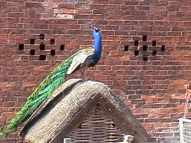 Peacock - SD stock footage clip