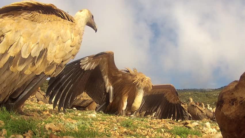 Common Vultures walking around while feeding on prey, camera on ground level