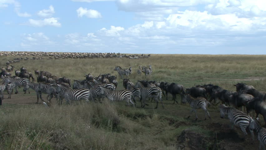 Wildebeest and zebra move into a large herd during the migration in the Masai Mara - Kenya, Africa.   - HD stock video clip