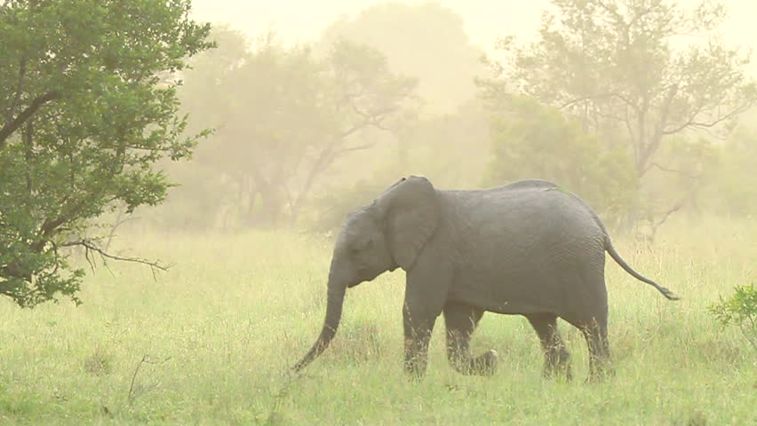 Elephant baby early morning mist