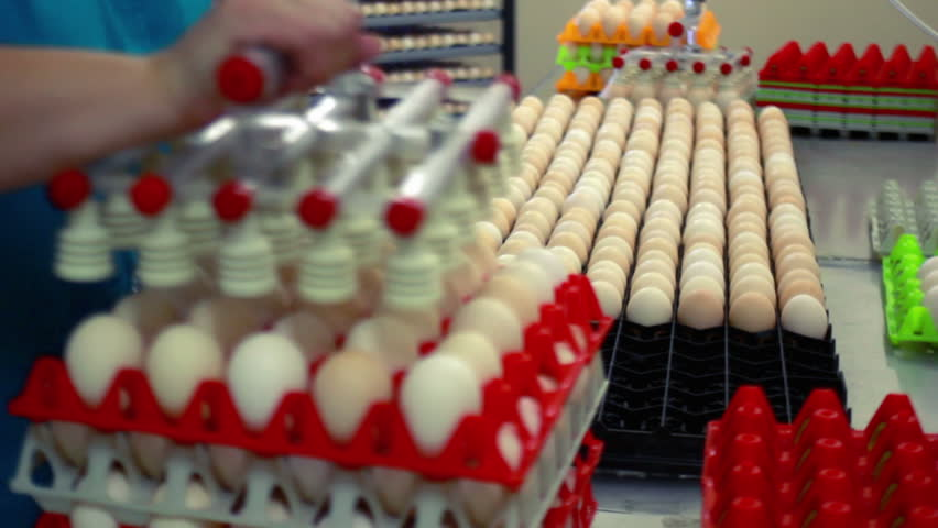 Process of packing eggs in trays at the poultry farm - HD stock footage clip