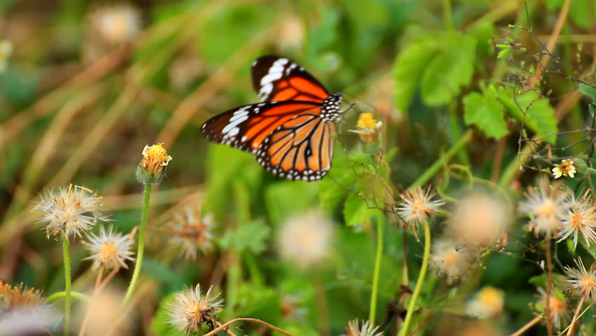 Butterfly on flower - HD stock footage clip