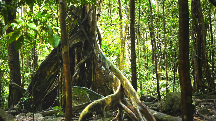 a dolly shot of the buttress roots of a giant tree in the daintree rainforest