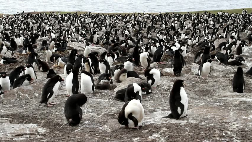 Rockhopper penguins colony - HD stock footage clip