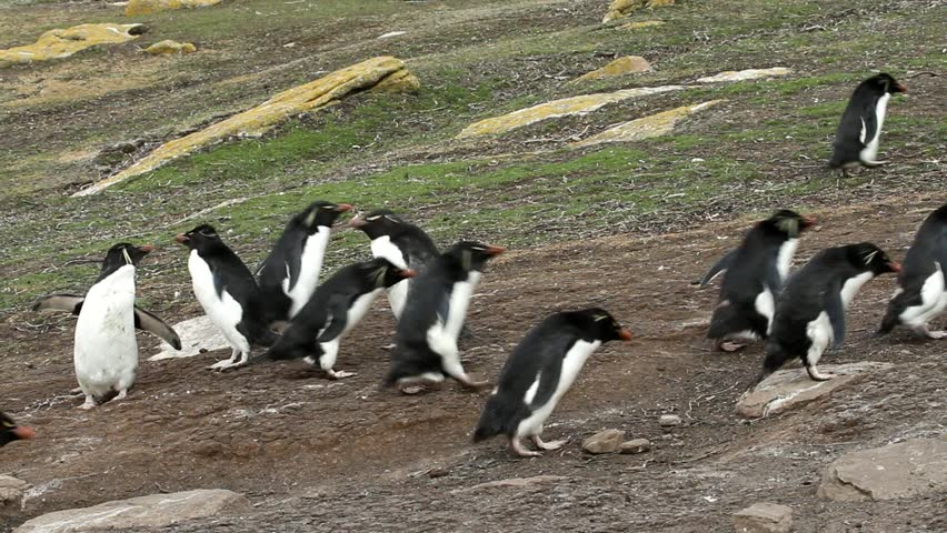 Rockhopper penguins walking uphill and downhill - HD stock video clip